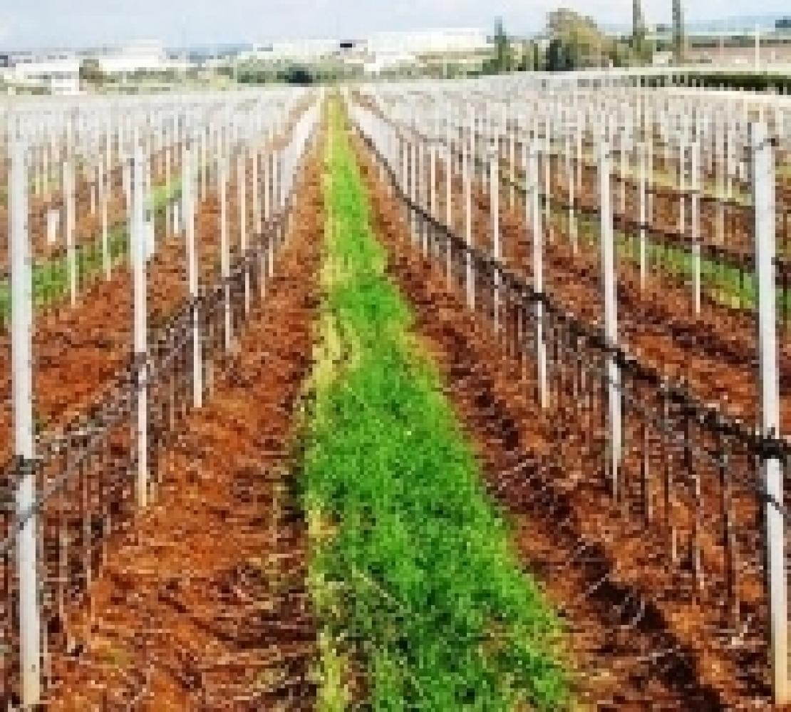 Il glifosato danneggia la qualità dell'uva