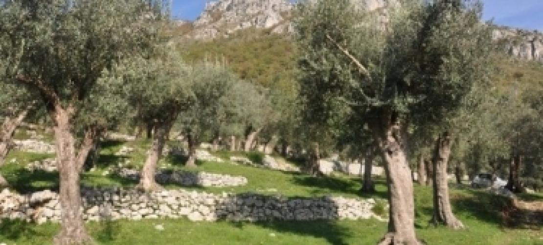 Riconosciuto il ruolo dei paesaggi olivetati nella storia d'Italia