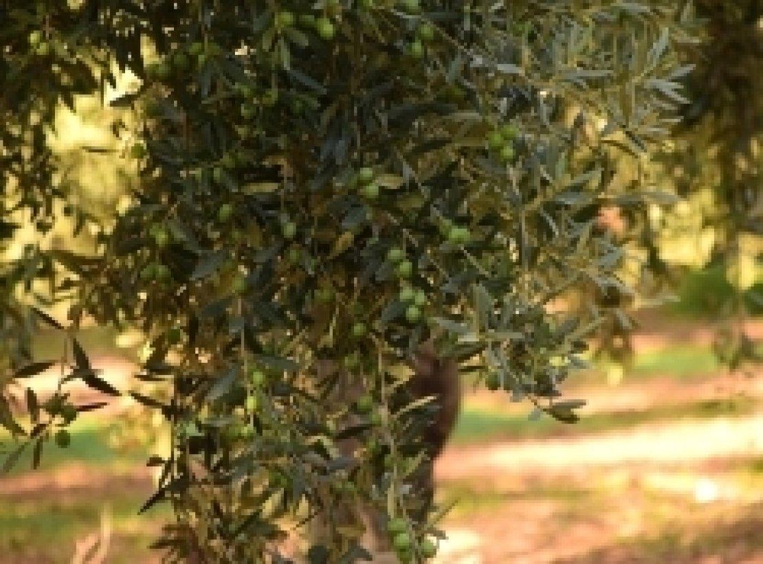 Prezzi delle olive, prezzi dell'olio extra vergine d'oliva. Facciamo un po' di conti