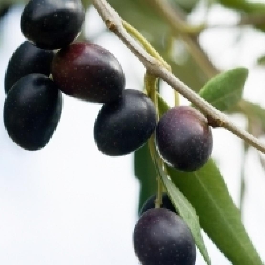 Le varietà di olivo, una biodiversità da conoscere e riconoscere
