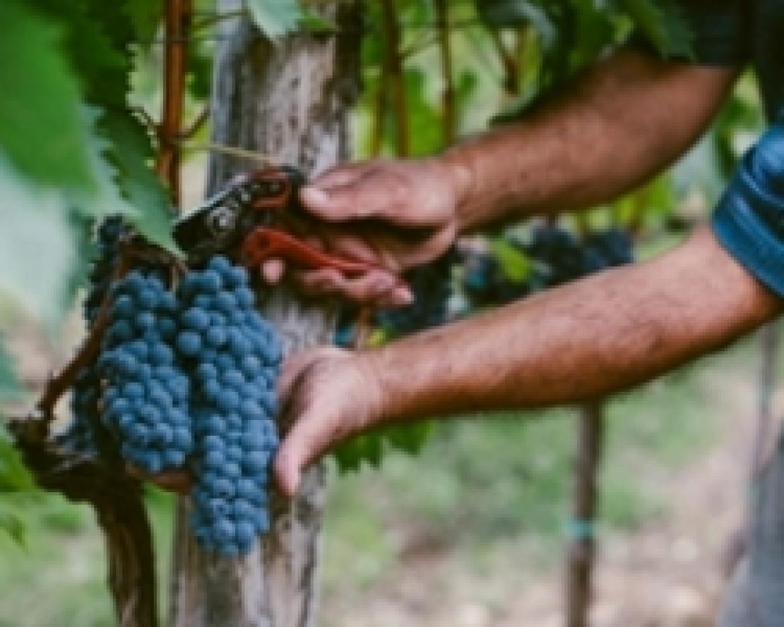 Calo storico nella produzione mondiale di vino a causa delle condizioni climatiche sfavorevoli