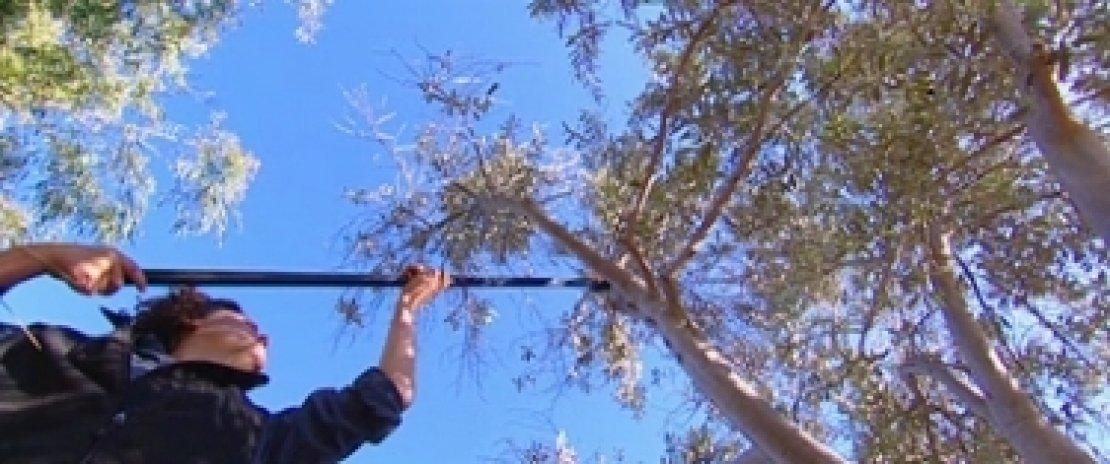 Come potare le cime degli olivi?