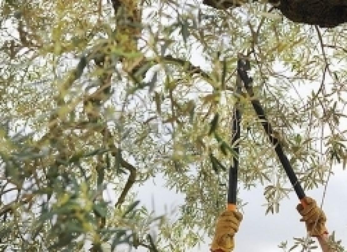 Potatura dell'olivo durante il riposo vegetativo, una missione sempre più difficile