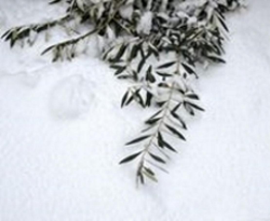 Il calcio elemento fondamentale nell'acclimatazione al freddo dell'olivo