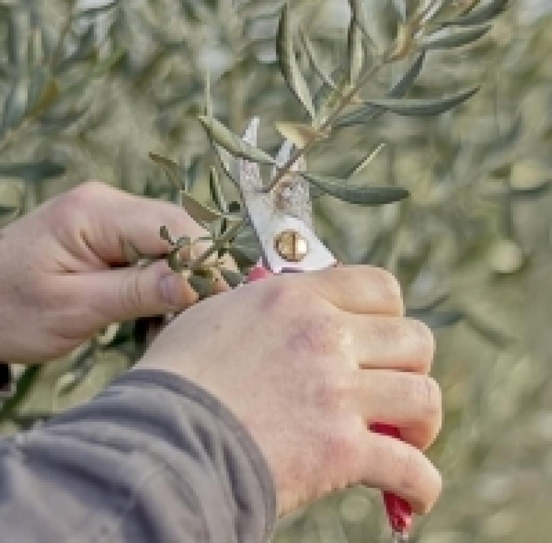 Stop alla potatura degli olivi, arriva Burian
