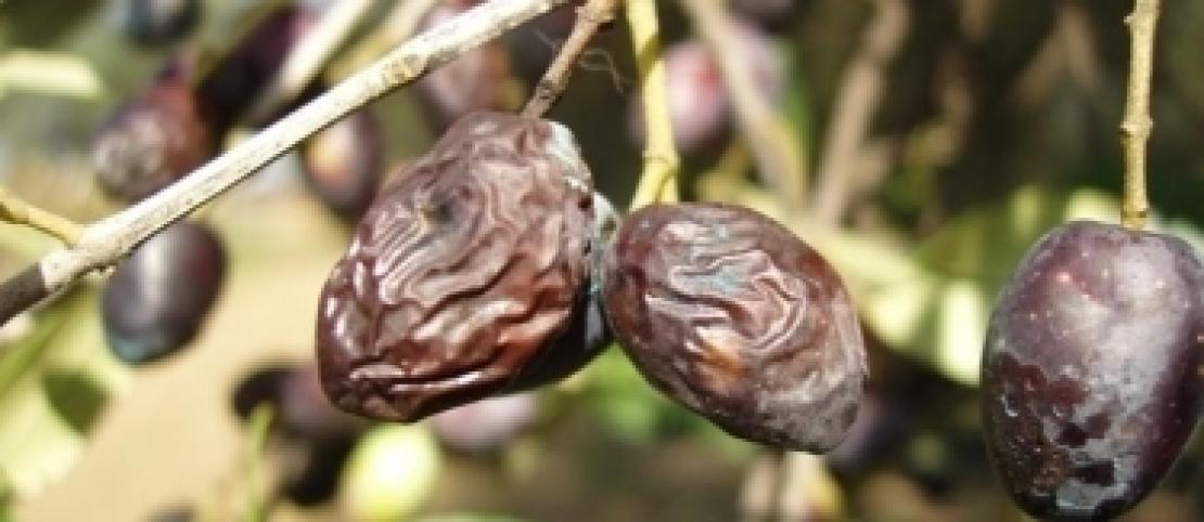 La lebbra dell'olivo colpisce più l'Arbequina della Frantoio