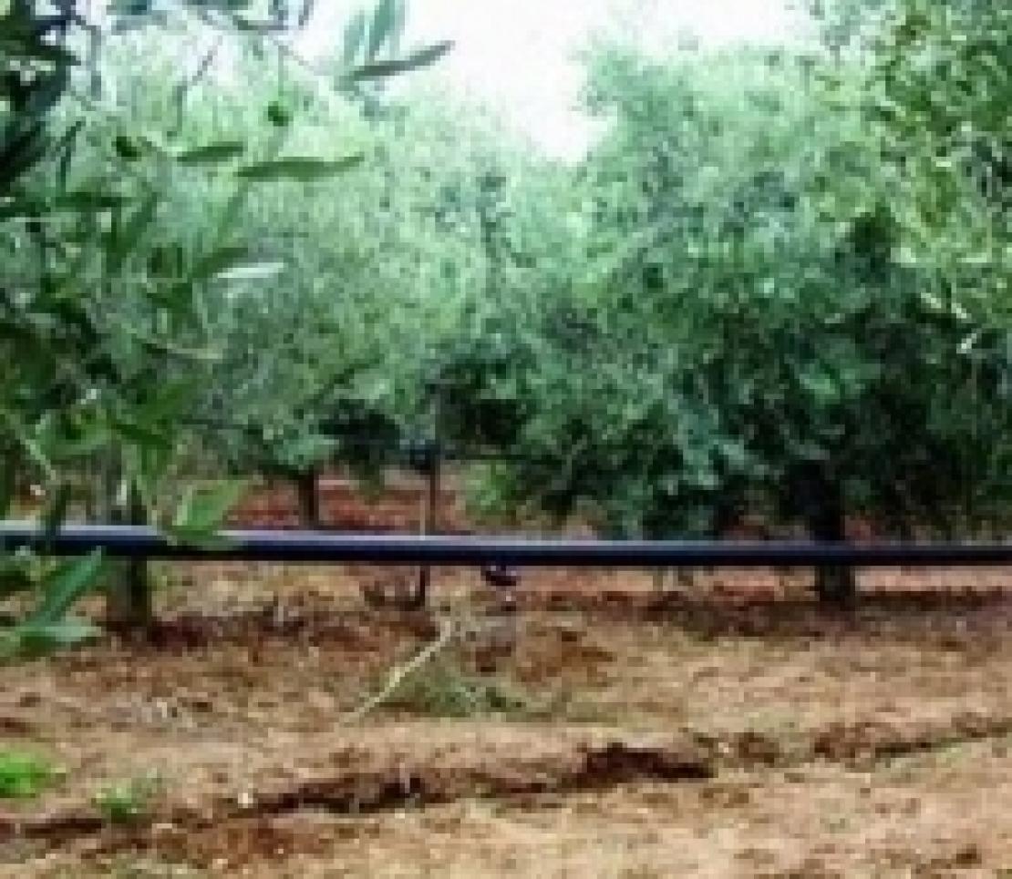 I pericoli di un'irrigazione dell'olivo con acque saline