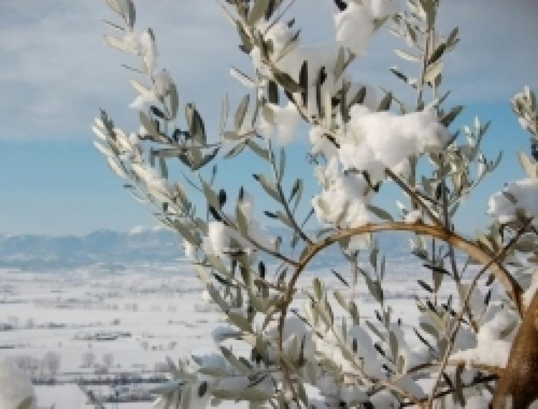 Intervenire dopo i danni da freddo su olivo: potatura o trattamenti?