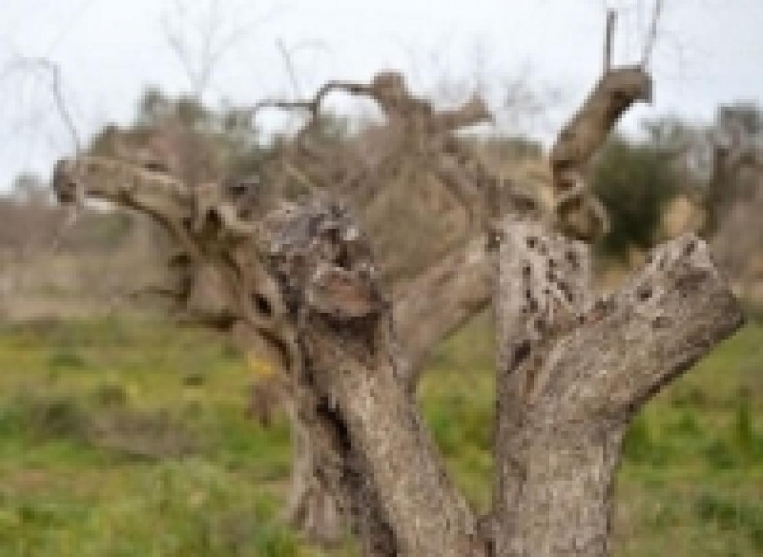 Xylella fastidiosa: la zona cuscinetto arriva nella provincia di Bari