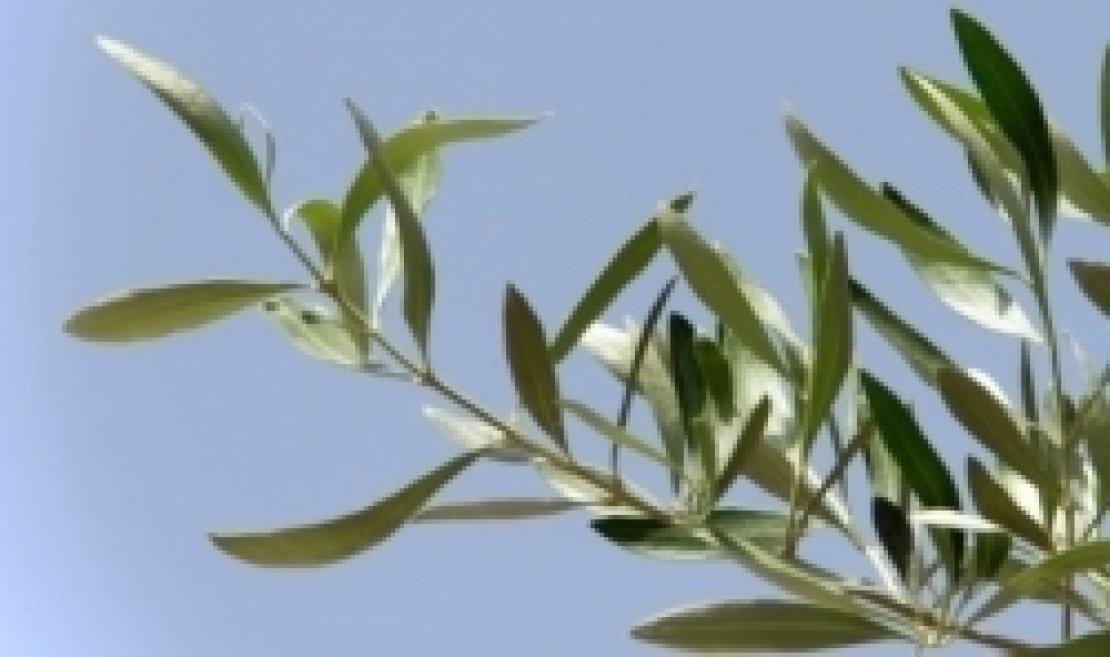 L'olio d'oliva, simbolo di amore, sapienza e fraternità