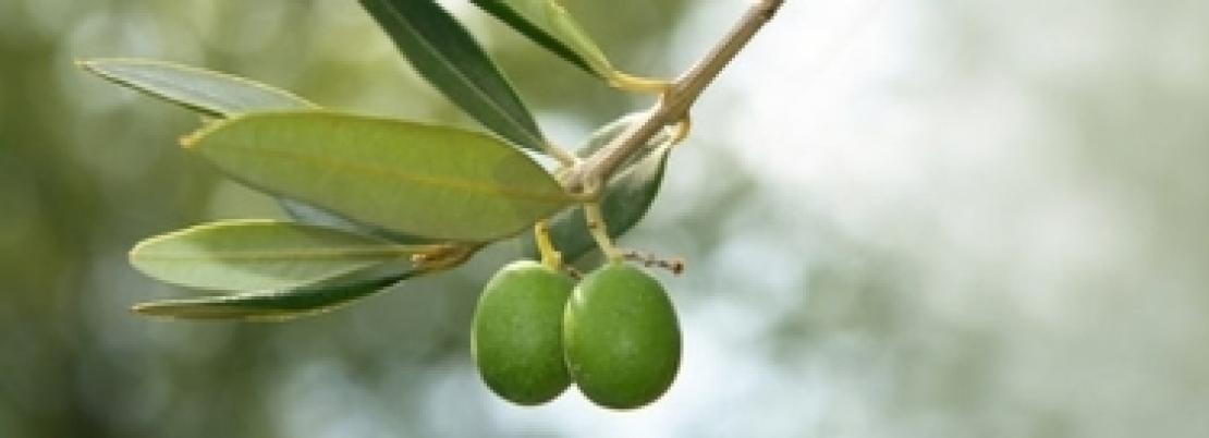 L'uso di fertilizzanti fosfatici sull'olivo può essere ridotto