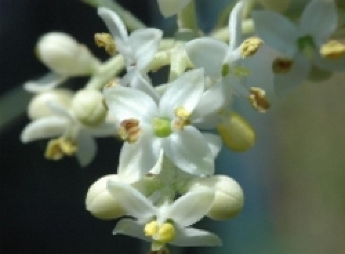 L'importanza dell'illuminazione per la fioritura e l'allegagione dell'olivo è sovrastimata