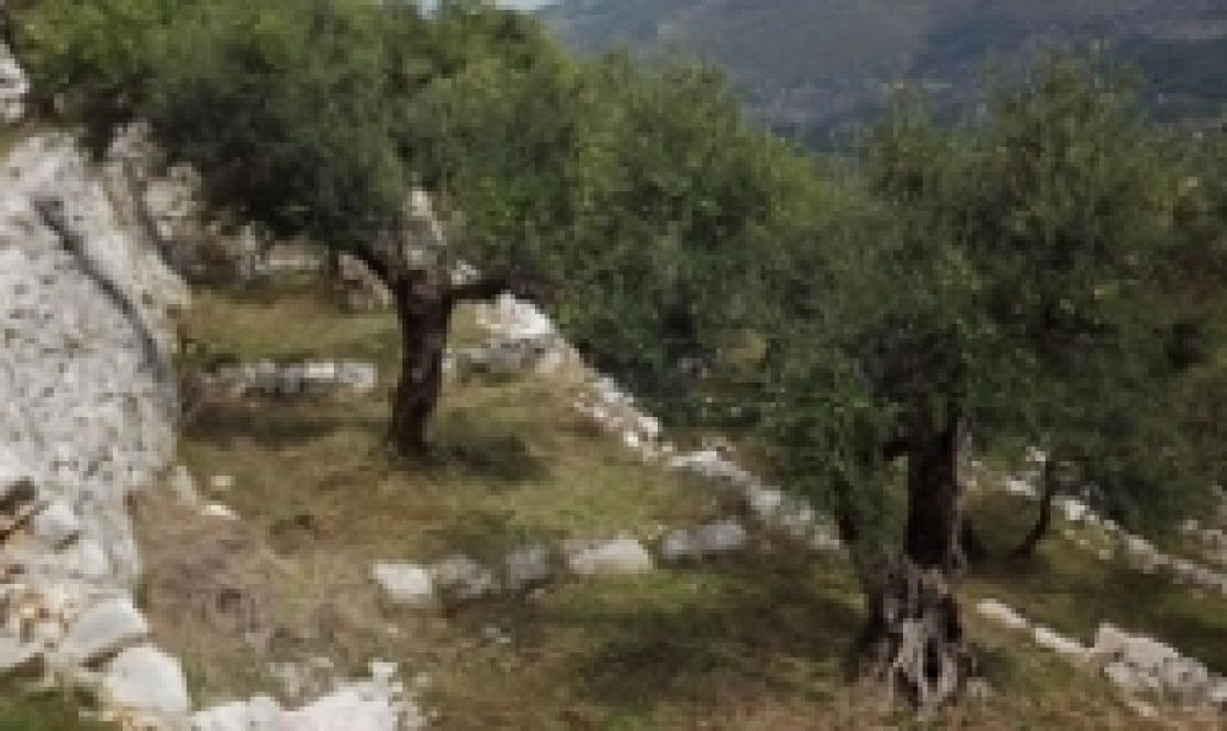 L'olivicoltura eroica, un malato terminale che non vuole morire