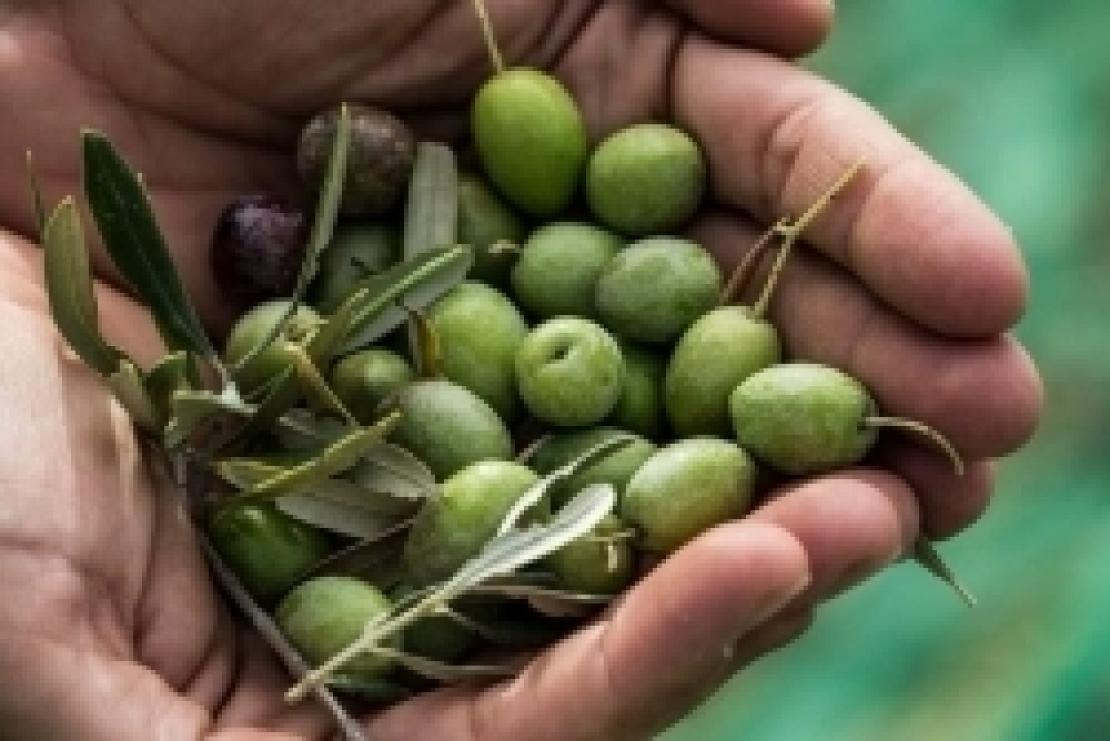 Il mito del risparmio in olivicoltura, quando tagliare significa perdere denaro