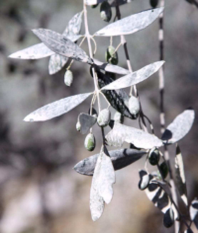 Dai trattamenti estetici il rimedio contro i colpi di calore per l'olivo