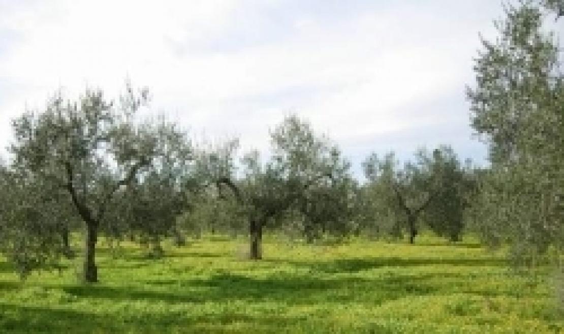 L'erosione del suolo è una minaccia per l'olivicoltura