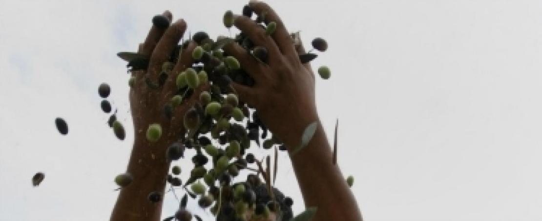 Tornano le polemiche sulle importazioni di olio d'oliva tunisino