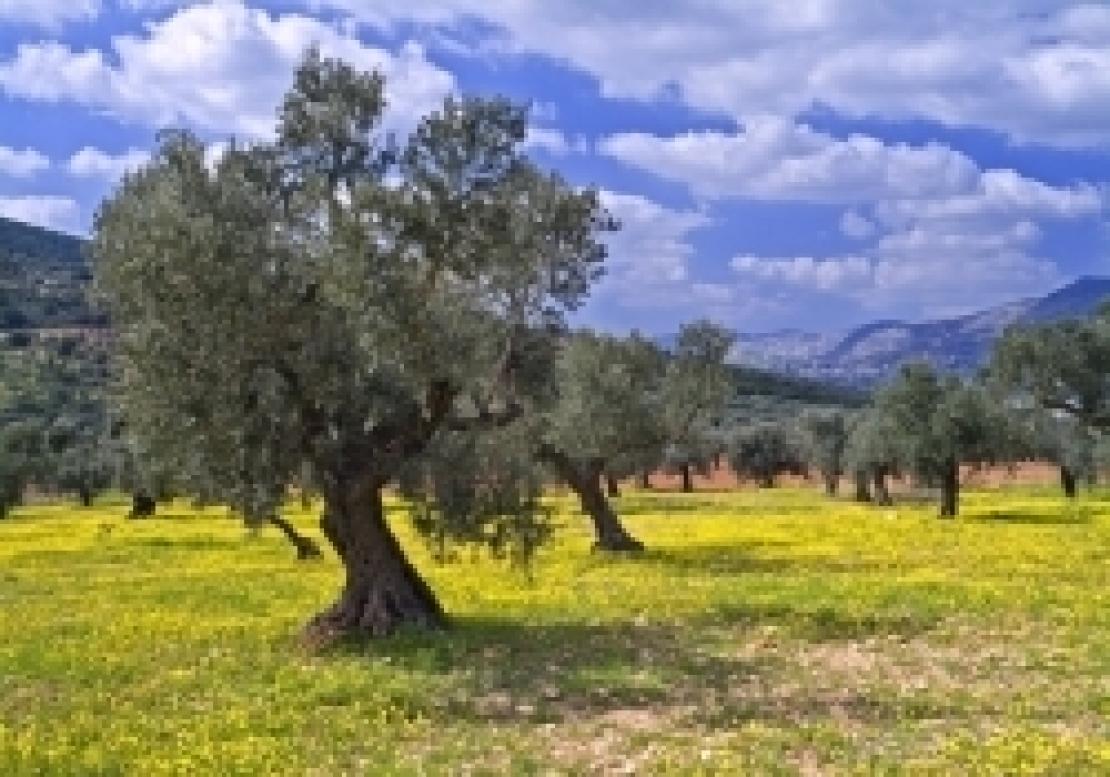 L'olivicoltura italiana in altalena: addio all'olio extra vergine Made in Italy?