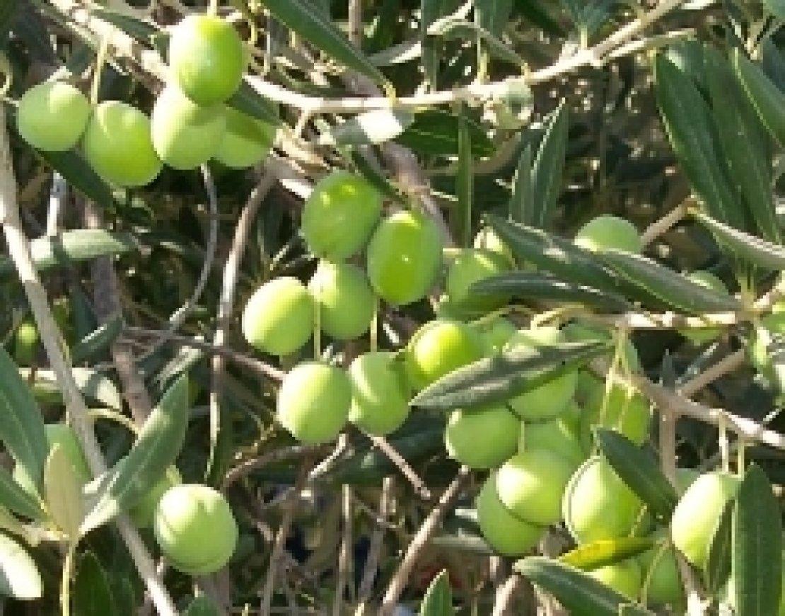Gli olivi devono produrre a costi accettabili: analisi di quelli fissi e variabili