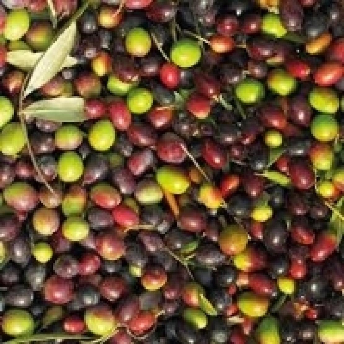 Ora l'olivicoltura spagnola pensa alla biodiversità