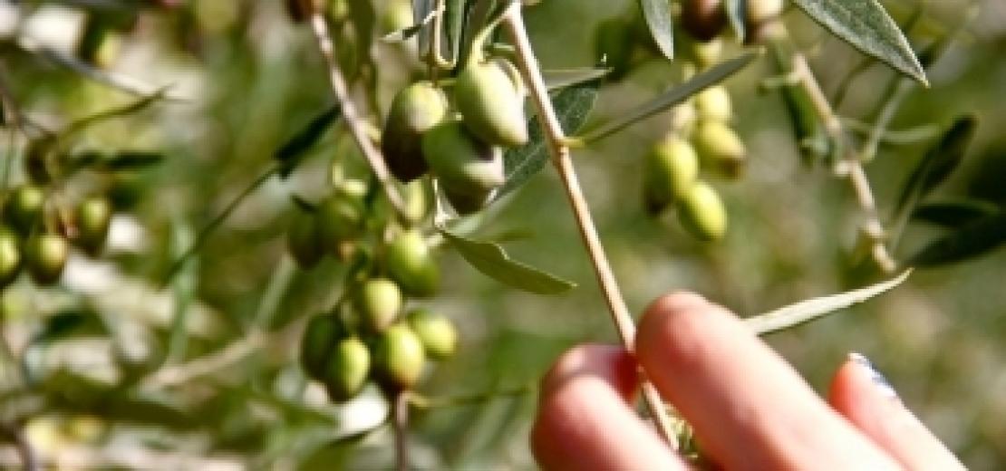 Troppo caldo? Cala la resa in olio delle olive