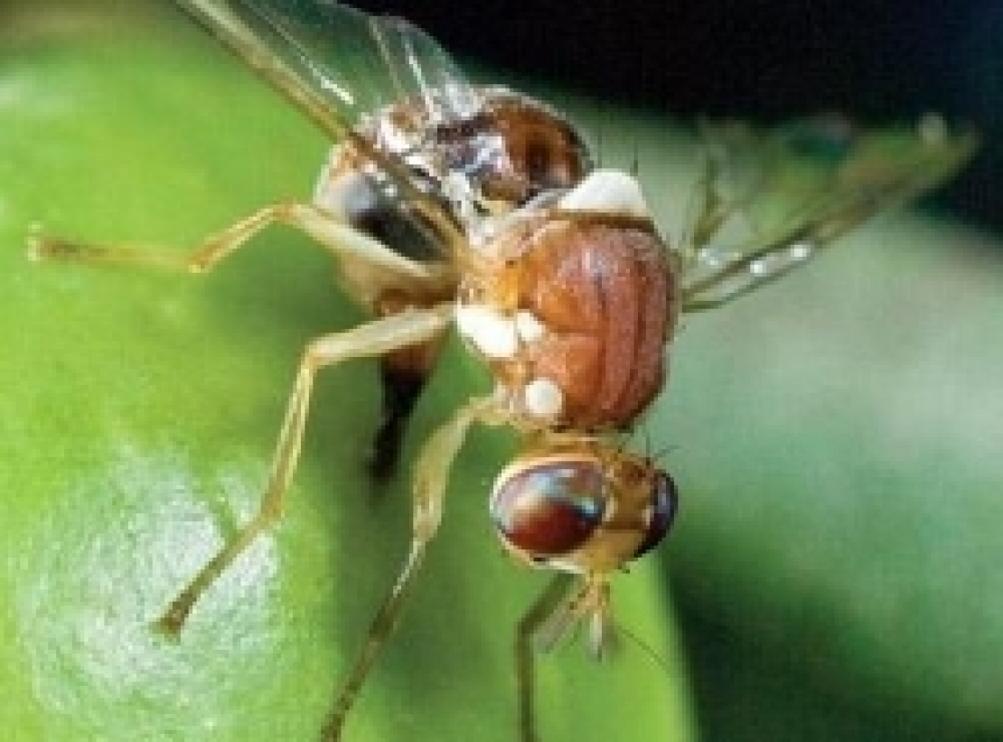 Controllo sempre più efficiente e più sostenibile della mosca delle olive in biologico