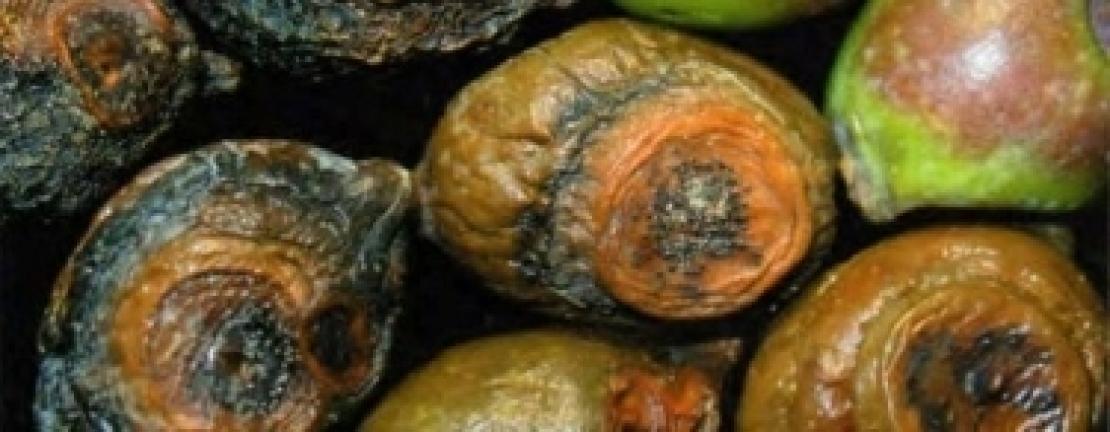 Per combattere la lebbra dell'olivo il prodotto giusto al momento giusto