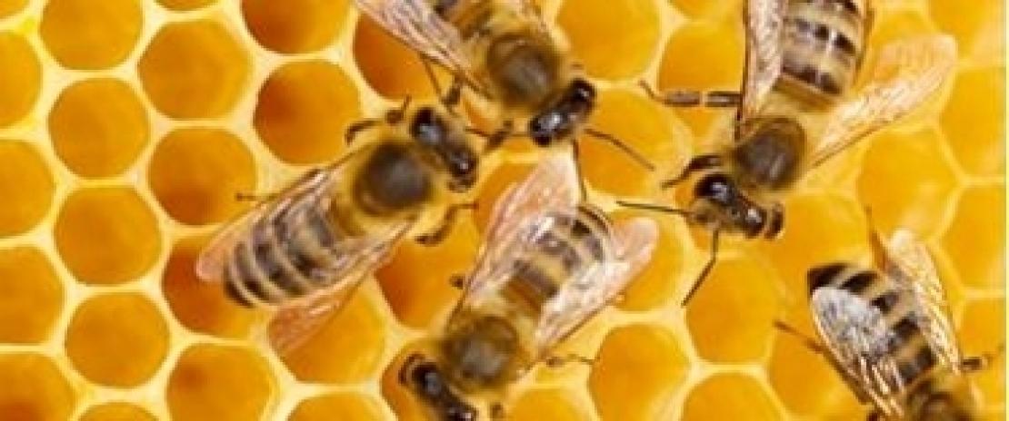 Ecco come il glifosato uccide le api