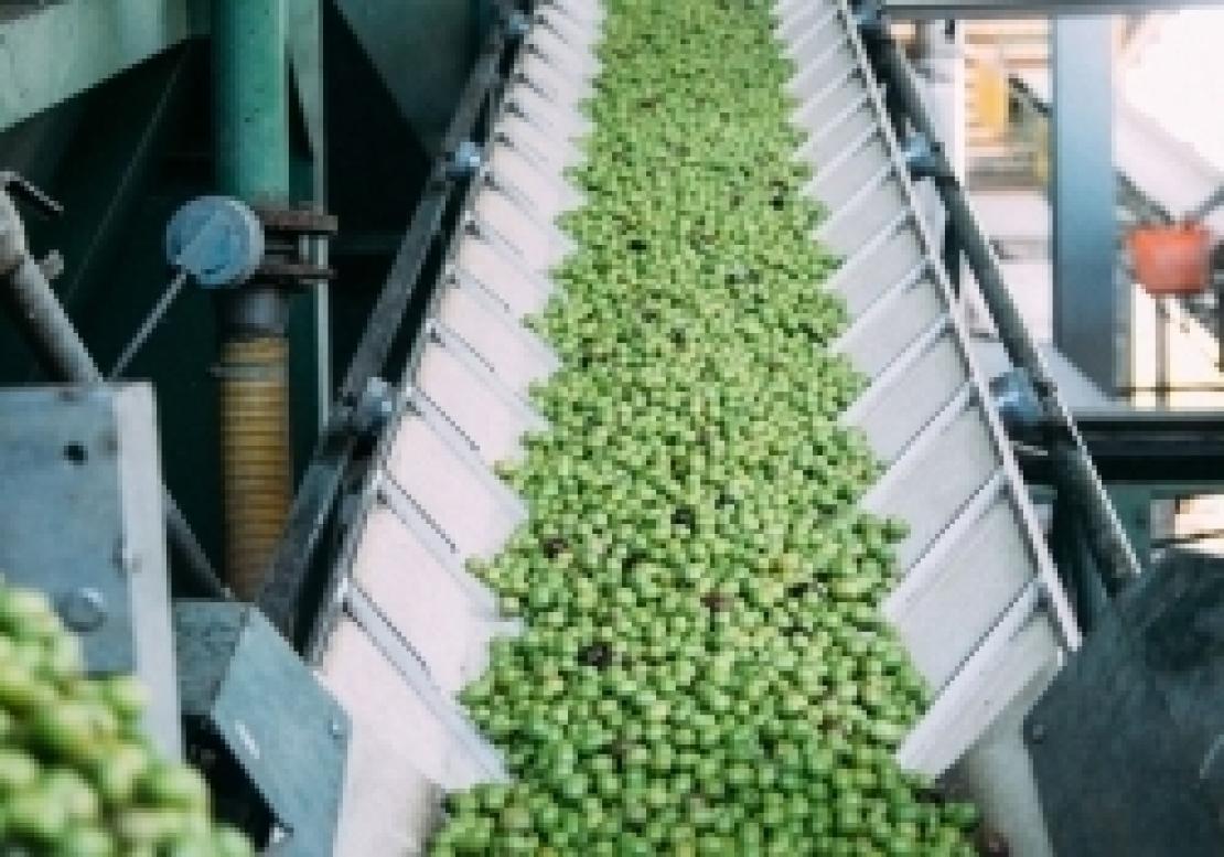 L'Italia sarà senza olio extra vergine di oliva, un'altra volta