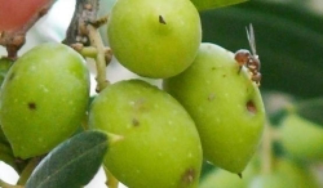 La mosca delle olive negli oliveti italiani, che fare?