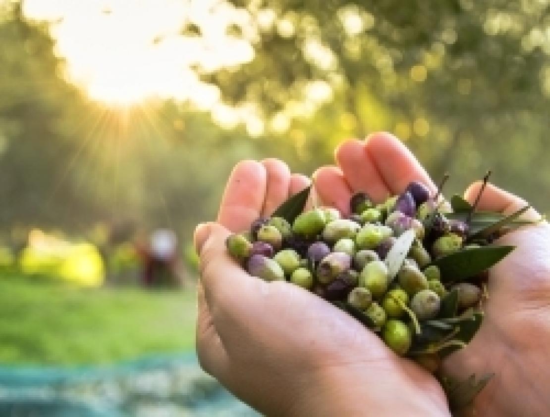 L'olio d'oliva nelle quotidianità delle genti mediterranee, è la Bibbia a ricordarcelo