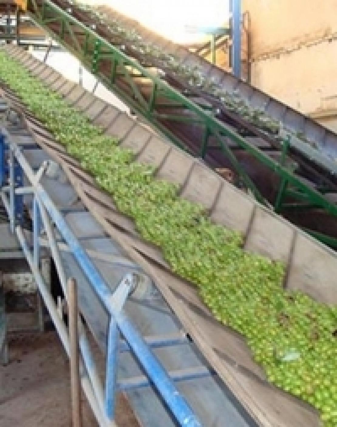La produzione d'olio d'oliva andaluso arriverà a 1,3 milioni di tonnellate