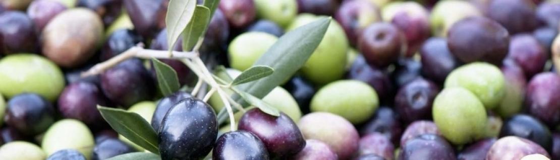 Troppo azoto all'olivo fa male alla qualità dell'olio extra vergine di oliva