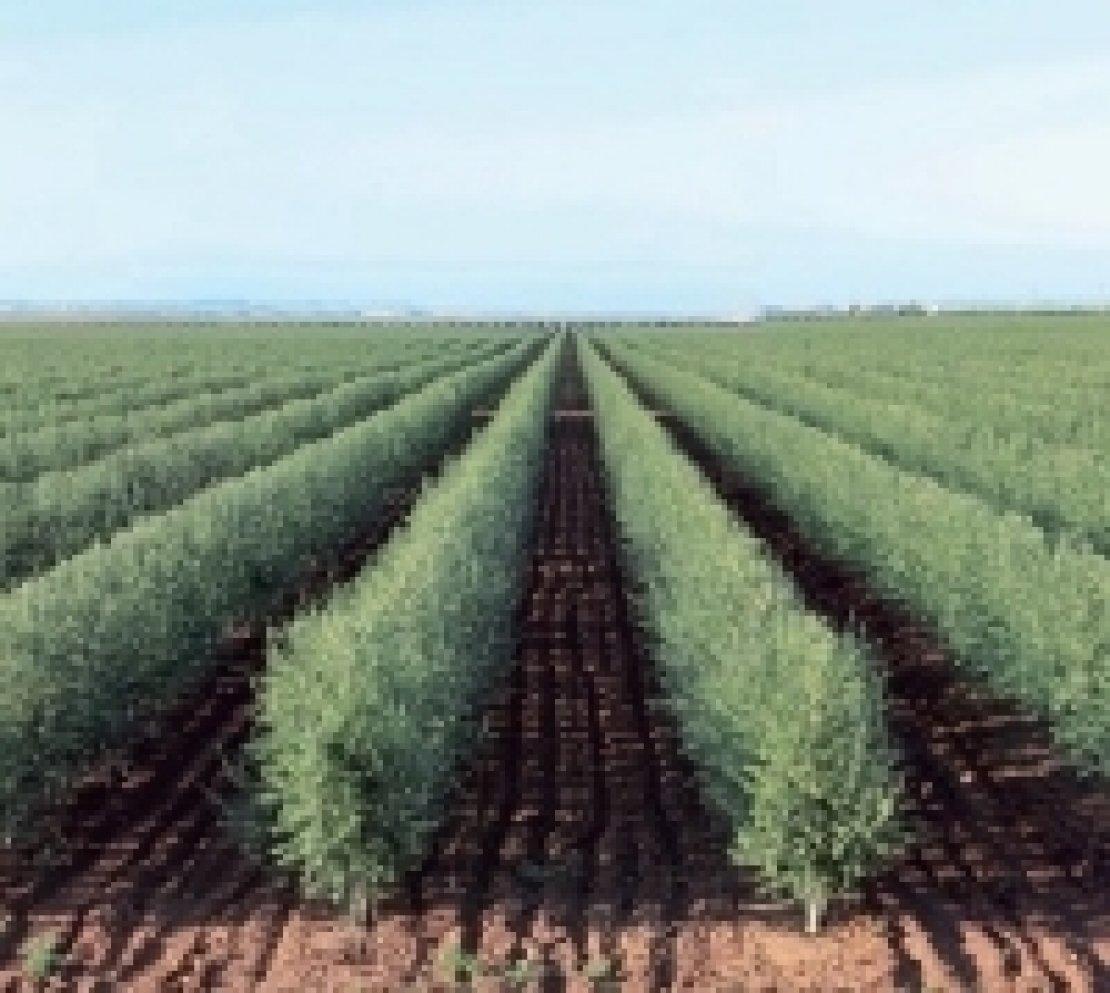 No a guerre sugli oliveti superintensivi