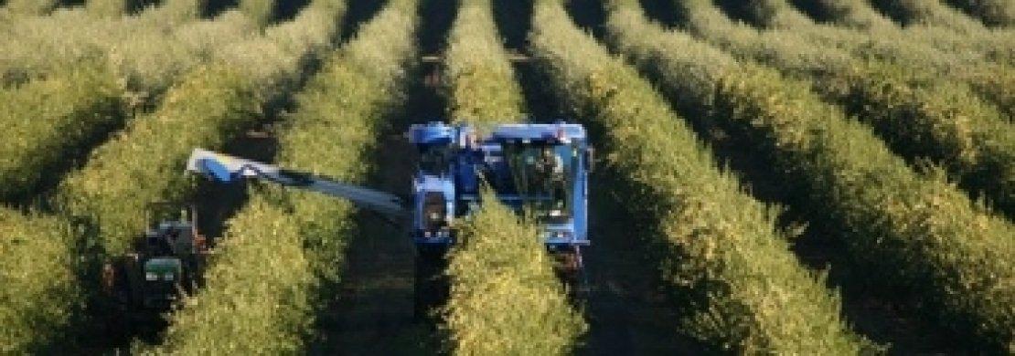 I dubbi di un frantoiano sull'olivicoltura superintensiva
