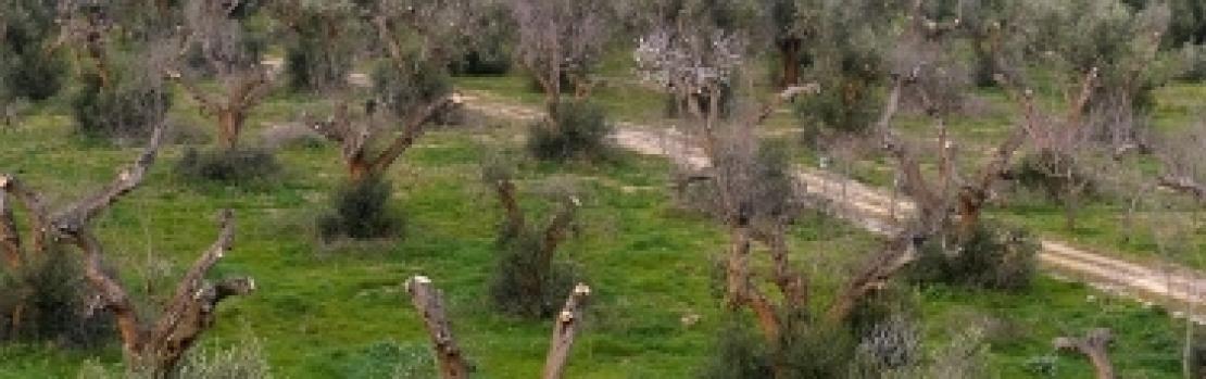 La Piana degli olivi monumentali ormai colpita da Xylella fastidiosa
