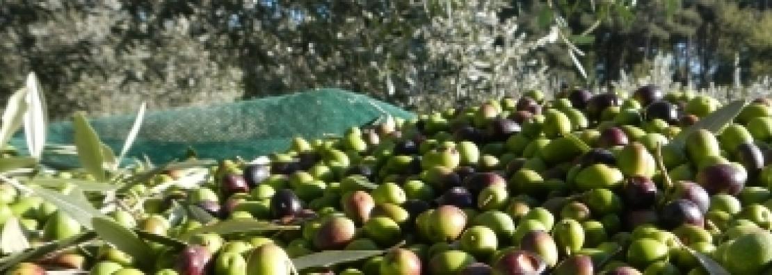 Stop alla raccolta delle olive in Spagna contro il ribasso dei prezzi