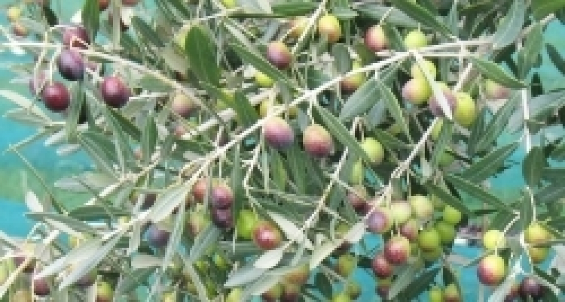 Basta poco azoto per far produrre al meglio gli olivi