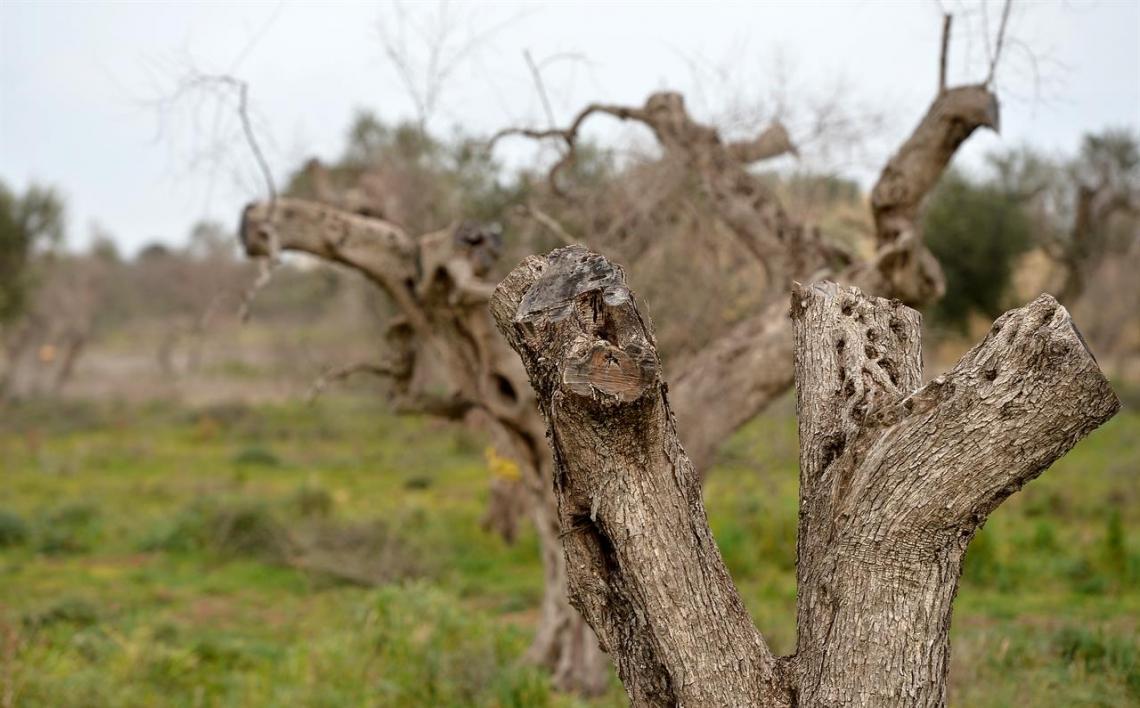 La magistratura sequestra un olivo affetto da Xylella fastidiosa