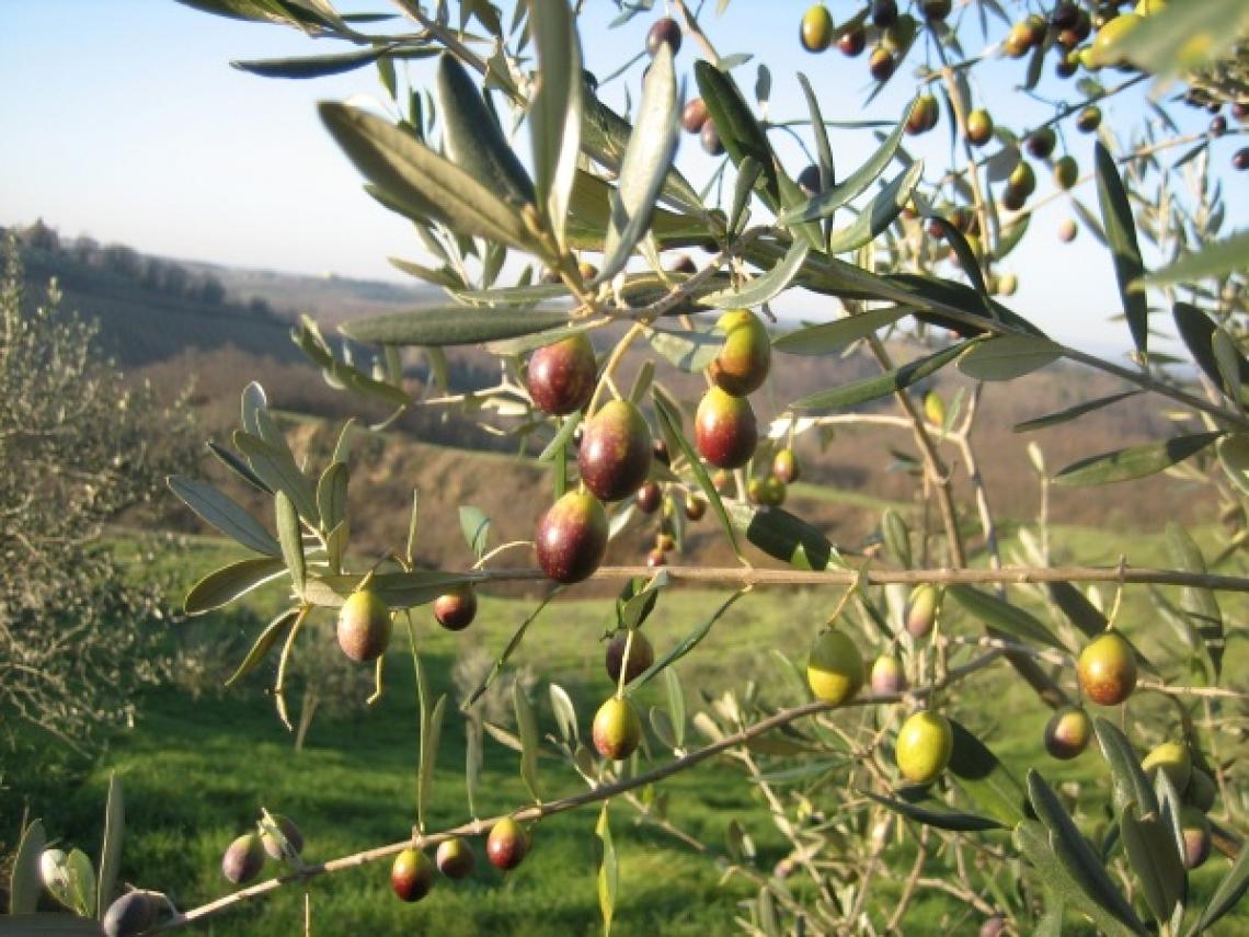 Il riscatto dell'olivicoltura toscana: prove di rilancio