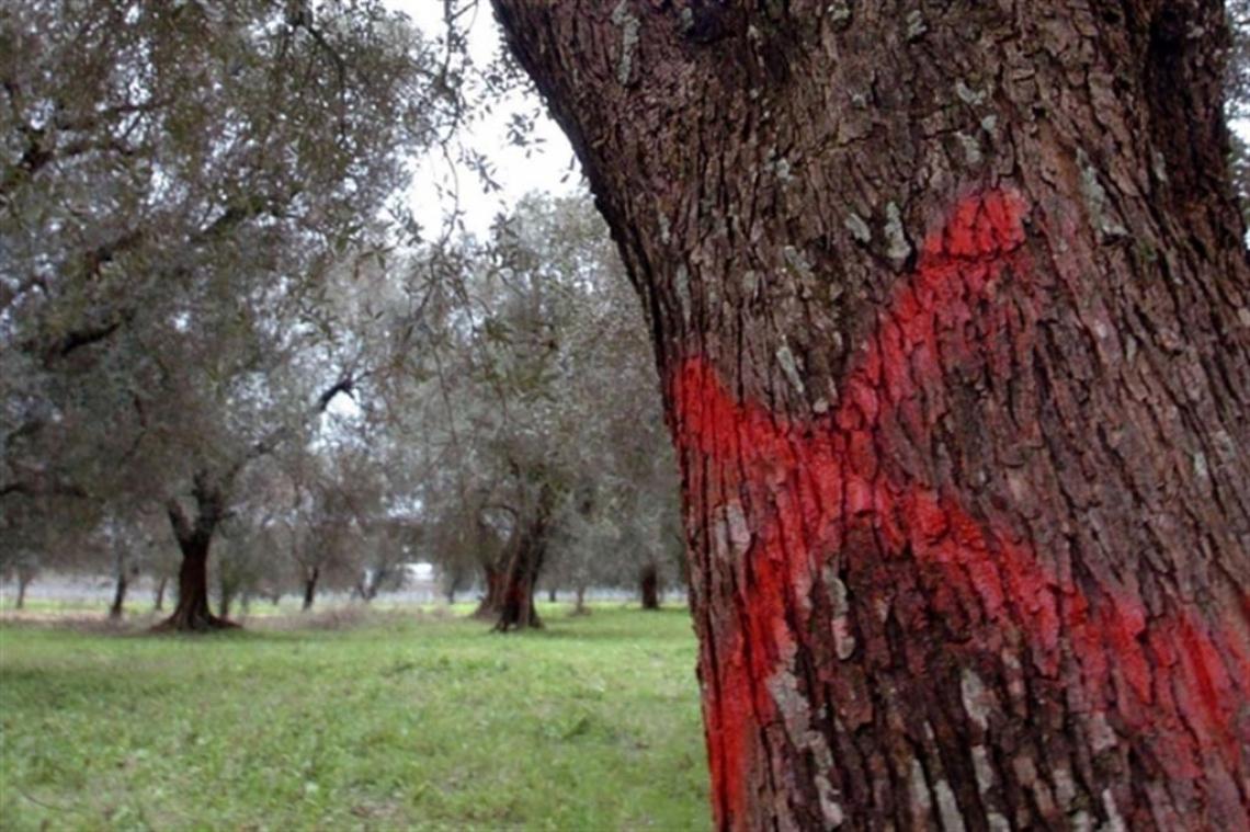 Ipotesi carcere per chi non estirpa gli olivi affetti da Xylella fastidiosa