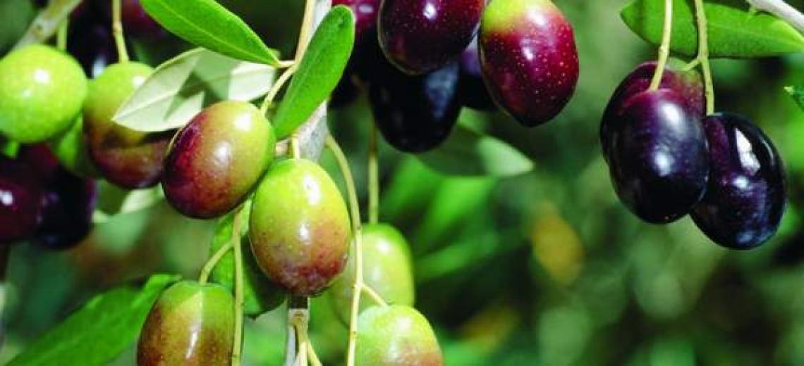 La promessa, forse già infranta, dell'olivicoltura uruguaiana