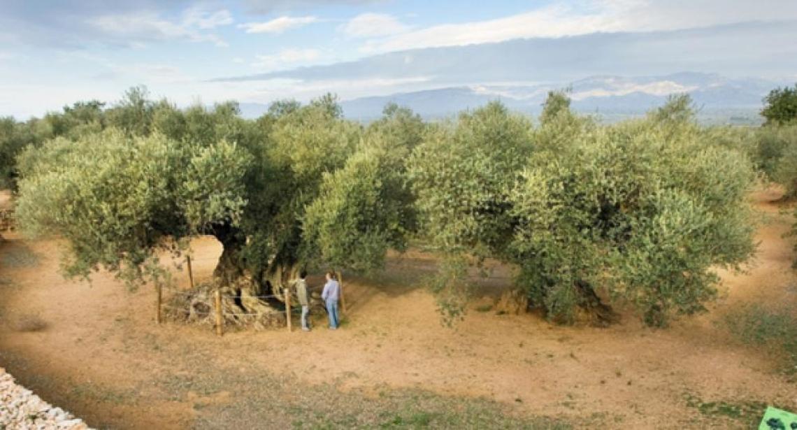 Anche la Spagna ha i suoi olivi tutelati dalla Fao