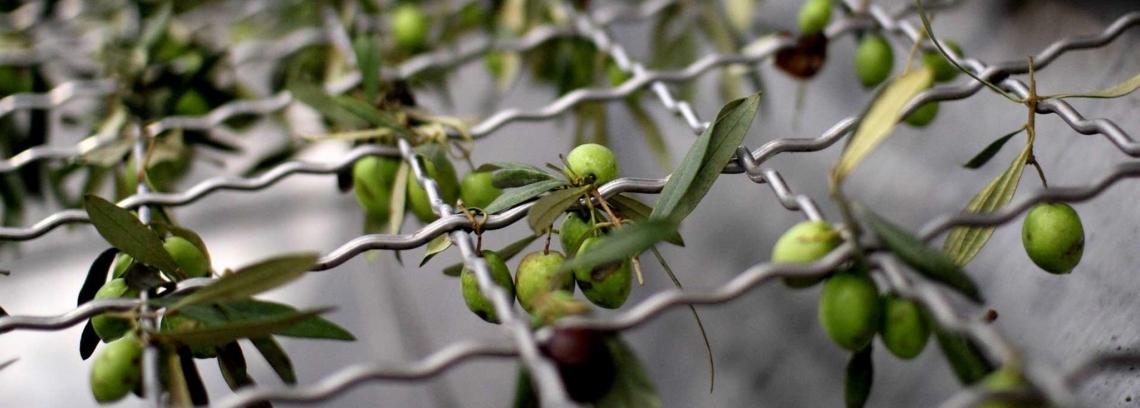 L'olio extra vergine di oliva italiano svenduto nel silenzio generale