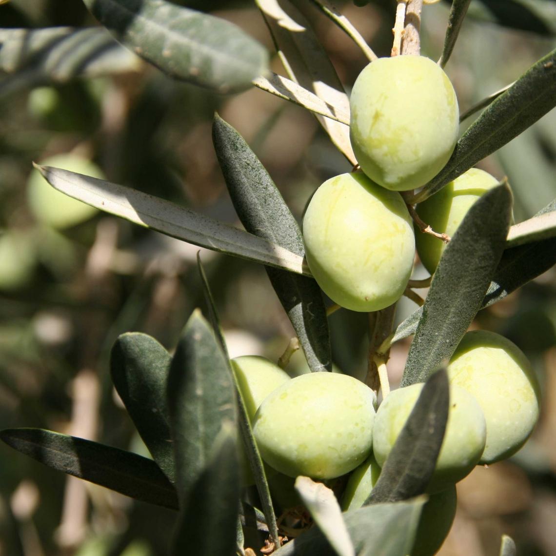 L'influenza della concimazione azotata sulla qualità dell'olio extra vergine d'oliva