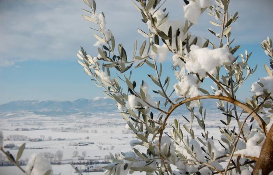 Scompaiono gli aiuti per l'emergenza gelo per l'olivicoltura italiana: monta la protesta