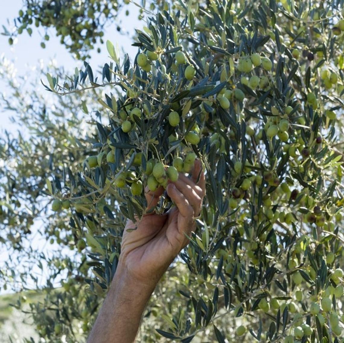 Sopravviveranno solo le aziende con più di trenta ettari di oliveto