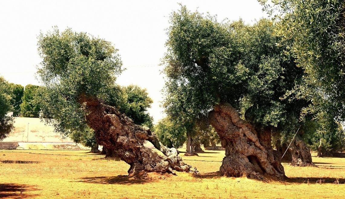 Ora basta prendere in giro l'olivicoltura italiana!