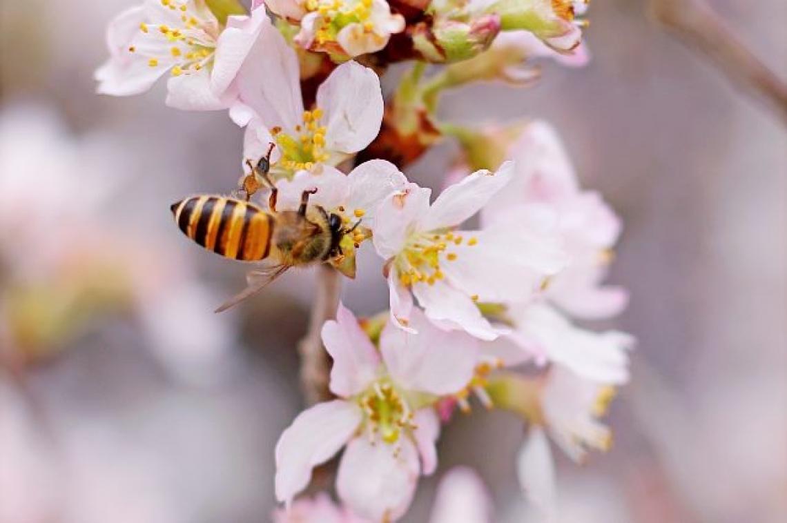 Il colpo di fuoco batterico si diffonde grazie alle api