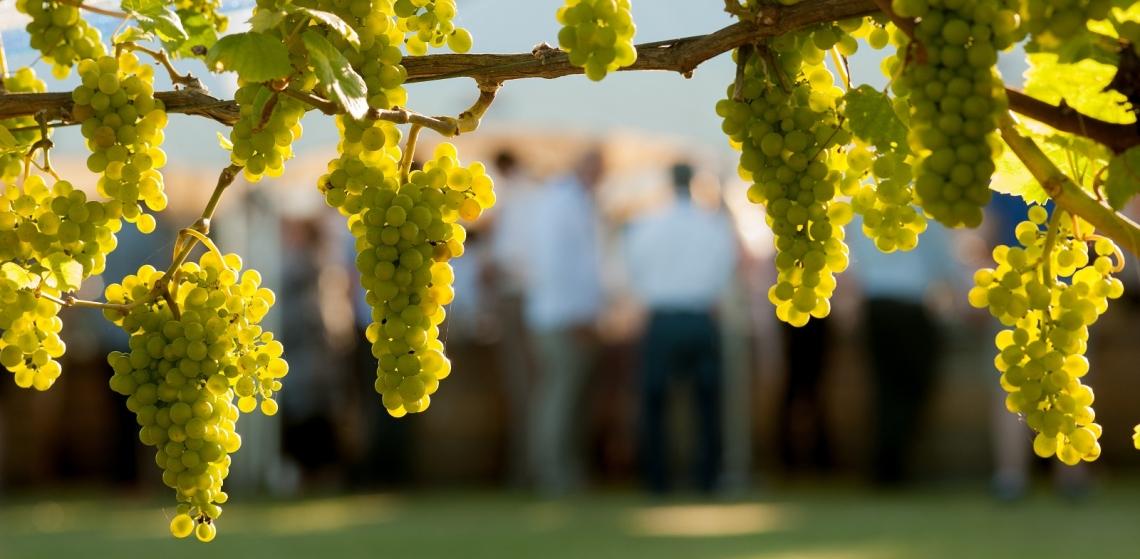 La concimazione organica migliora la resa dello Chardonnay